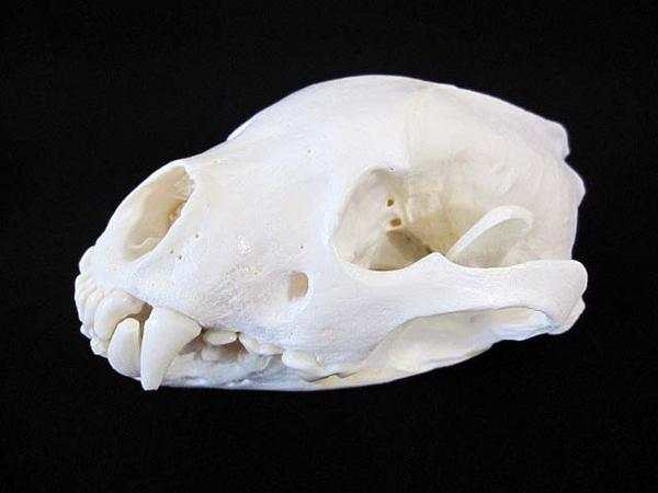 アラスカ グズリ wolverine 頭骨