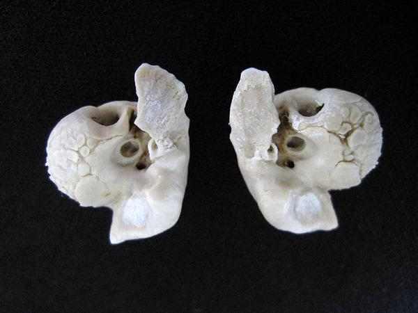 イルカ 耳骨 左右ペア