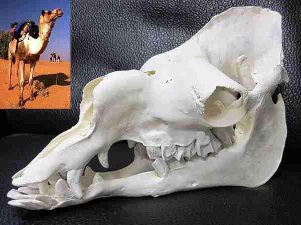 インドラクダ 頭骨