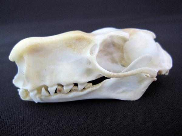 ウマヅラコウモリ(HAMMERHEAD BAT) ♂ 頭骨