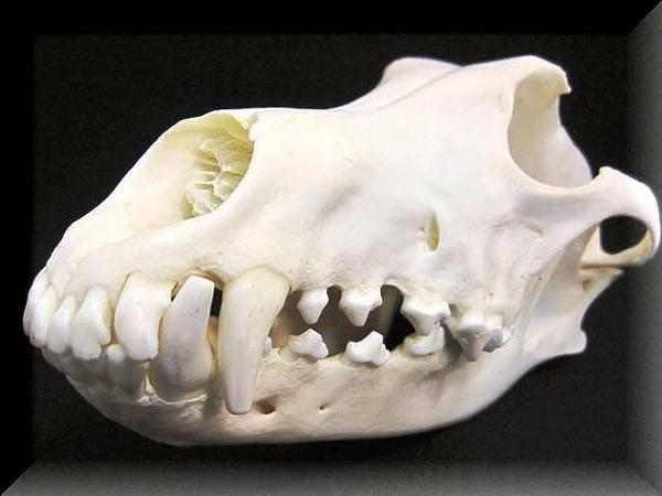 ウルフ 頭骨