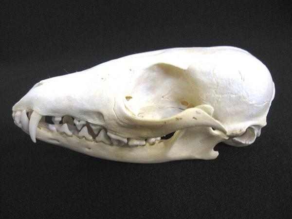 オオミミギツネ(Bat-Eared Fox)頭骨