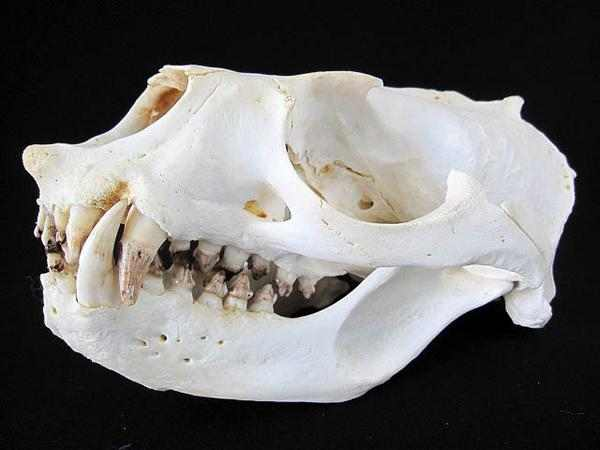 オタリア2 頭骨