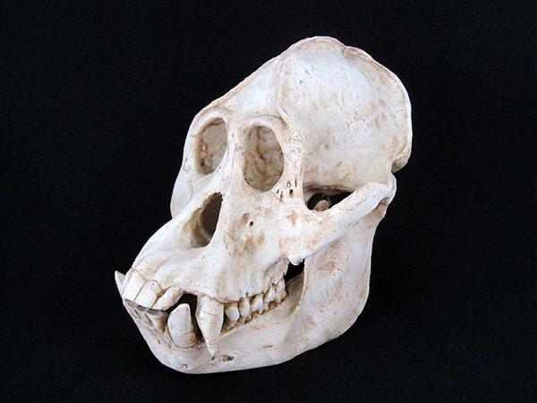 オランウータン 頭骨