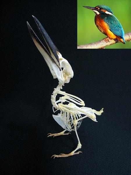 カササギ 骨格標本