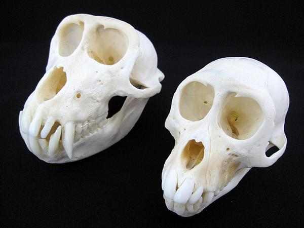 カニクイザル 頭骨 ♂♀ペア