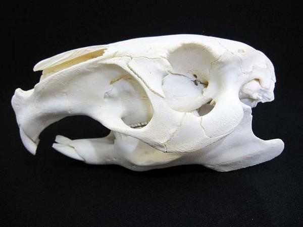 カピバラ 頭骨