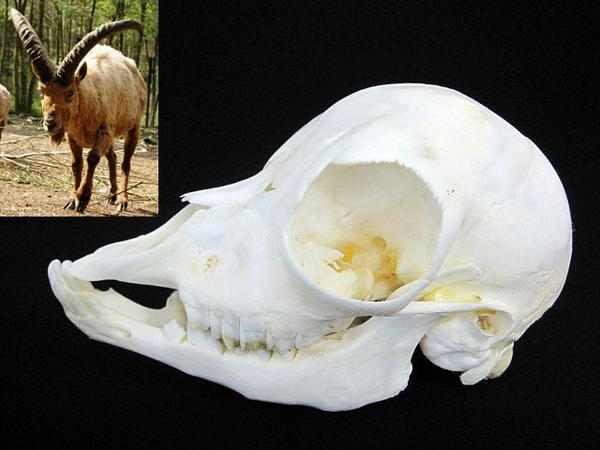 カフカスアイベックス 幼獣 頭骨