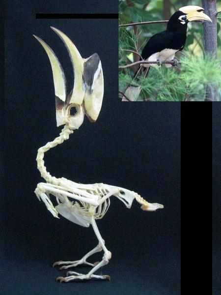 キタカササギサイチョウ 骨格標本
