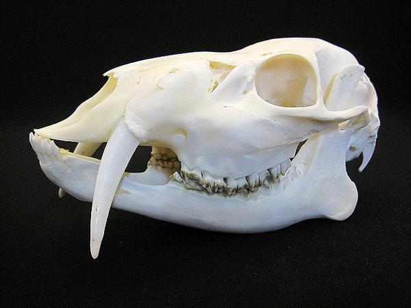 キバノロ 頭骨