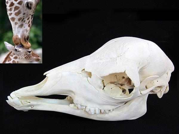 キリン (African giraffe) 頭骨
