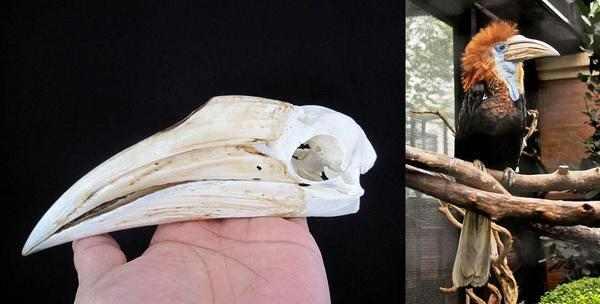 キンコブサイチョウ 頭骨