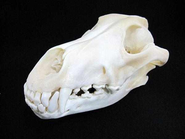 グレイウルフ ハイイロオオカミ 頭骨