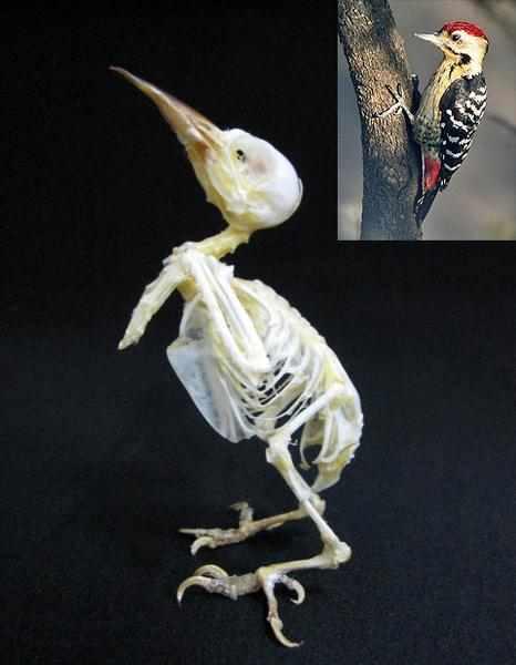 コモンアカゲラ Dendrocopos macei 全身骨格標本