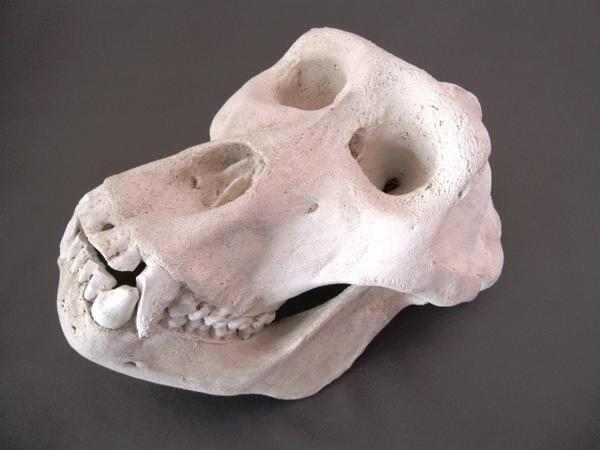 ゴリラ 頭骨 模型