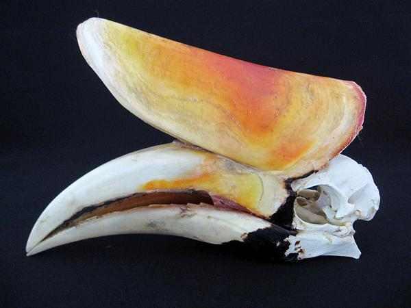 サイチョウ 頭骨 標本