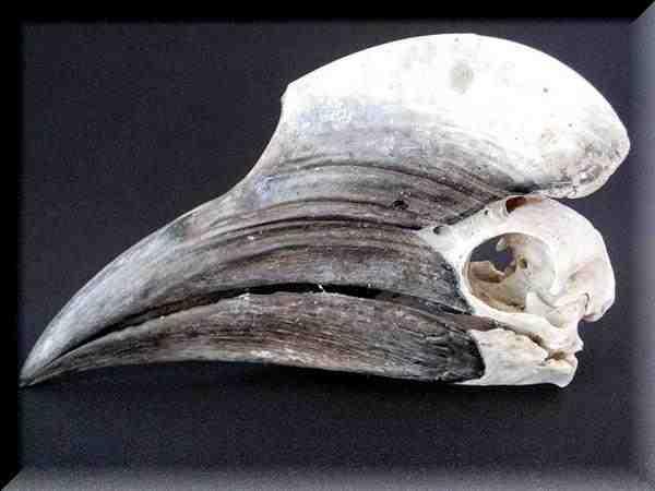 サイチョウ1 頭骨