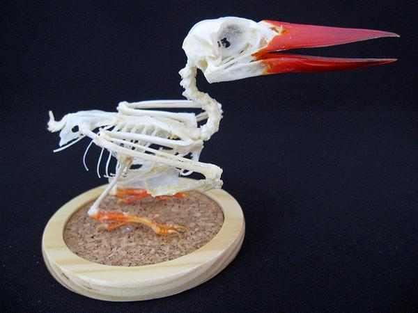 ジャワショウビン 骨格標本