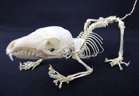 ジャワツバイ 骨格標本