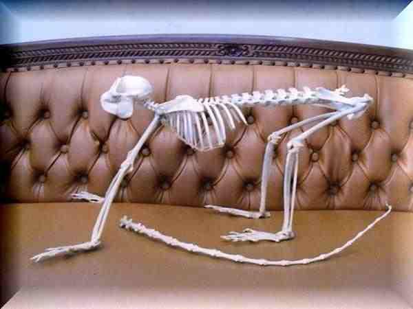 ジャワルトン 全身骨格標本