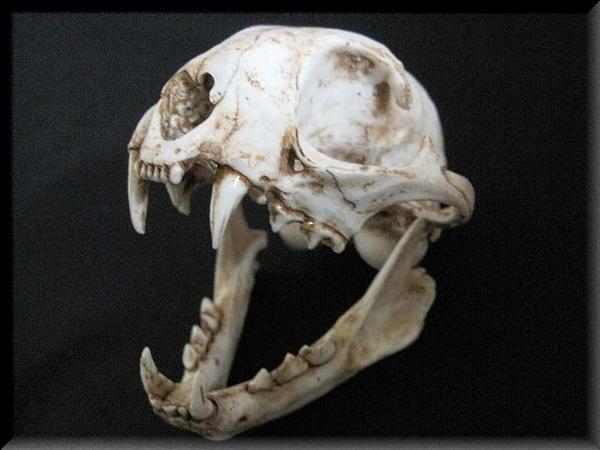 スナドリネコ 頭骨 模型