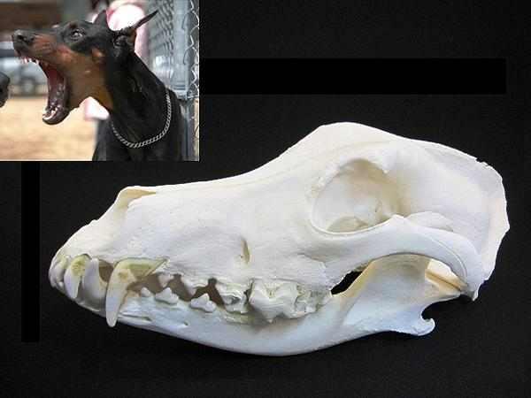 ドーベルマン(Doberman) 頭骨2