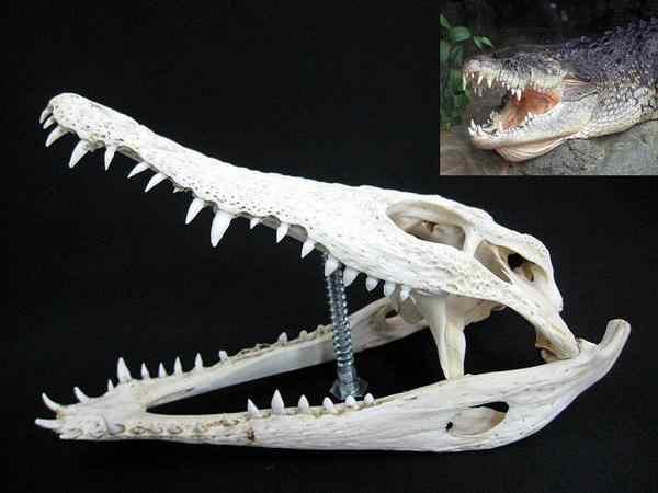 ナイルワニ(Nile crocodile) 頭骨