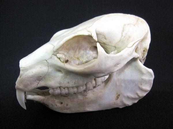 ハイラックス 頭骨