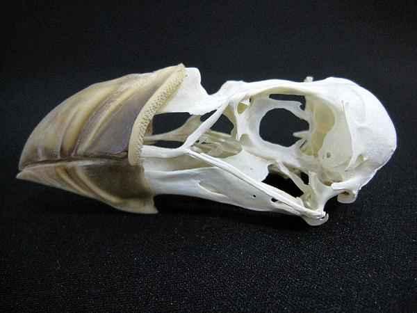 パフィン 頭骨