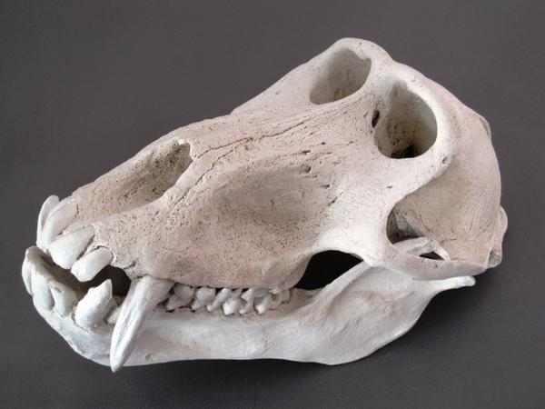 ヒヒ 頭骨