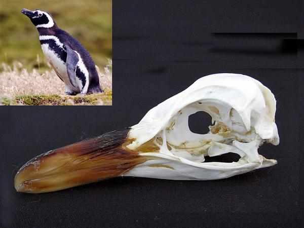 マゼランペンギン(Magellanic Penguin)頭骨