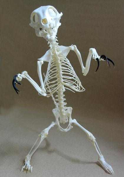ミーアキャット(Meerkat) 骨格標本