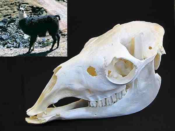 リャマ 頭骨