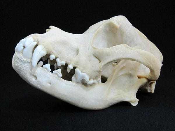 ロットワイラー犬 (Rottweiler Dog) 頭骨