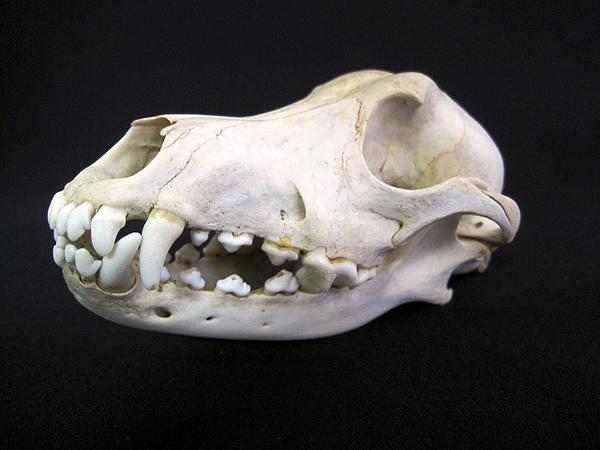 ワイルドドッグ 頭骨