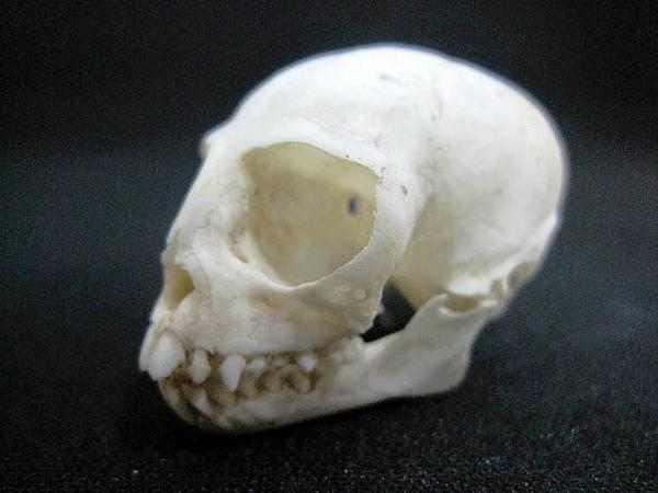 ワタボウシタマリン 頭骨