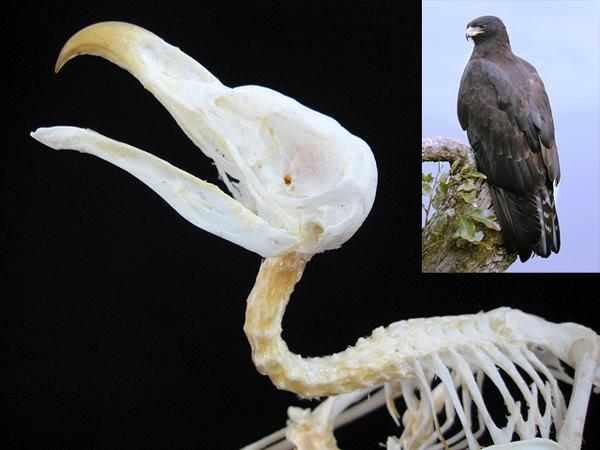 鷹 骨格標本