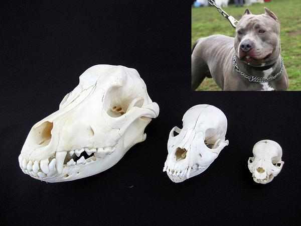 闘犬!アメリカン・ピットブル 3個体 頭骨