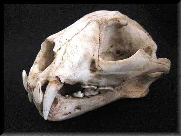 豹 頭骨 模型
