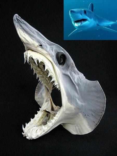 アオザメ Shortfin mako shark 頭部の剥製
