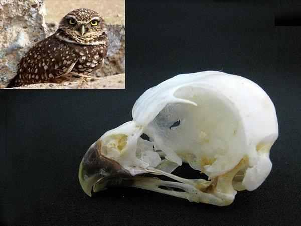 アナホリフクロウ(BurrowingOwl)頭骨