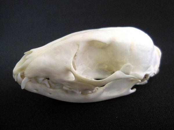 アフリカジャコウネコ 頭骨 標本