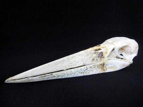 アフリカハゲコウ Marabou Stork ◆頭骨/標本