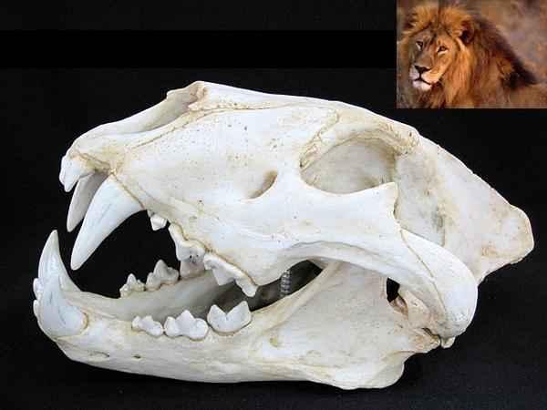 アフリカライオン 精密複製 頭骨模型