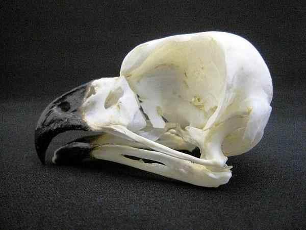 アフリカワシミミズク ◆頭骨標本