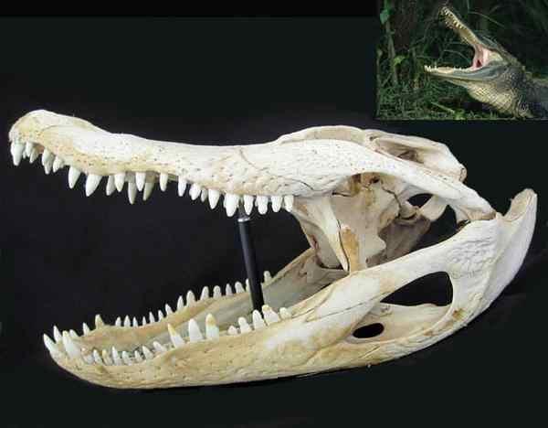 アメリカアリゲーター 頭骨