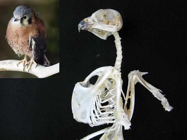 アメリカチョウゲンボウ 鷹 ハヤブサ科 骨格標本