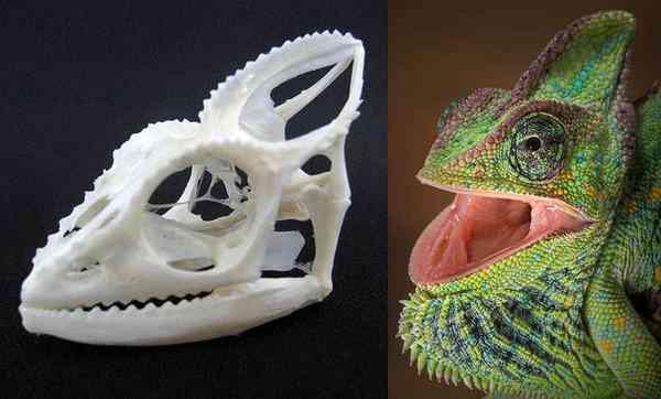 エボシカメレオン 頭骨