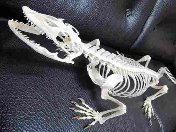 オオトカゲ 骨格標本