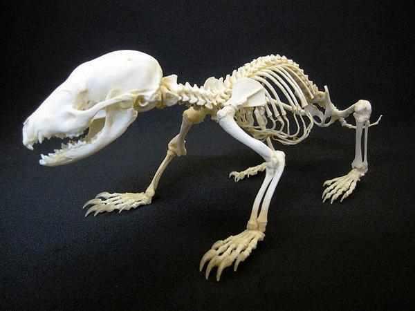 オコジョ short-tailed weasel 全身骨格標本